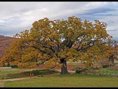 Norcia, tra boschi e campi coltivati...una quercia di 300 anni d'età